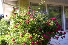 The Rose bush that ate kirkwood
