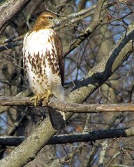 A Red-tail Hawk Enjoying the Weather
