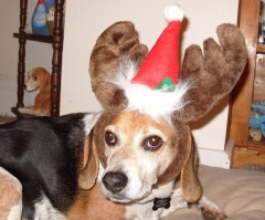 Boomer the Christmas Beagle