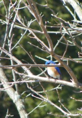 the bluebirds are back