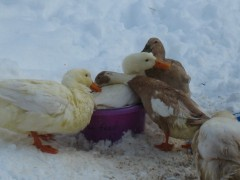 Rub a dub dub, all the ducks in a tub