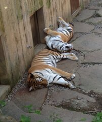Big Kitty Cat Nap At Ross Park Zoo