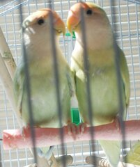 Loving Love Birds