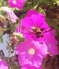 Hummingbird MOths are seen on sunny days