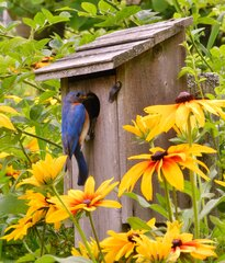Eastern Bluebirds and painted daisies