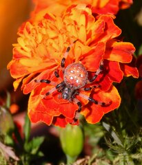 Neat fall colored spider on marigold