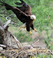 Mother Eagle and Baby