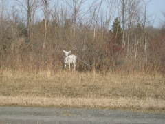 White deer at Seneca Army Depot