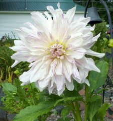 Finally the Dahlias are Blooming!