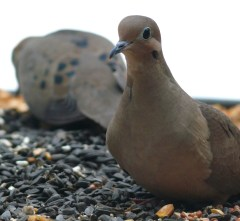 Posing Mourning Dove