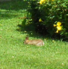 Backyard Bunny Munching on Dandelions!