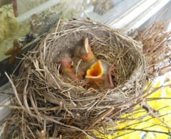 Robins have hatched and are hungry