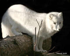 Arctic Fox enyoying the cold!
