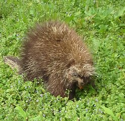 Porcupine passing through