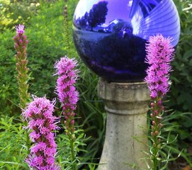 Always a Gardener's favorite, Liatris!