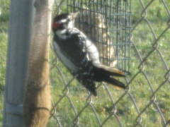 Large woodpecker enjoying suet!