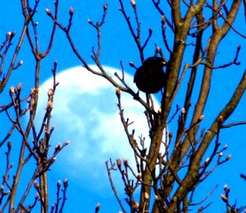 Blackbird gets last rays of sun & Moon