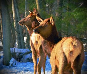 Winter Elk!