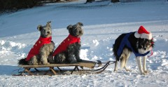 Sled dogs- but not the pulling kind!