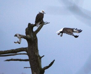 Majestic Eagles in Delaware County!