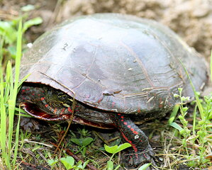 A Painted Turtle Nest