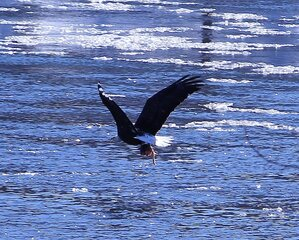 Eagle feeding on river