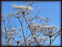 Frosty Fall Weeds Against the Blue Sky!