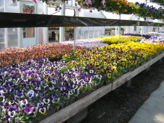 Pansies Galore at Local Nursery