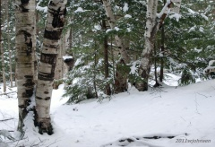 Birches in the Winter