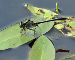 Dragonflies at Otsiningo Park Pond