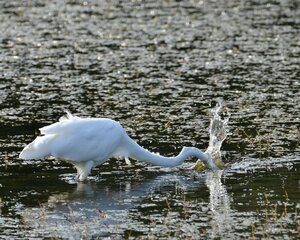 Sequence of Egret Fishing