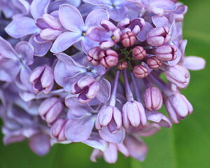 Our Lilac Tree's are Blooming