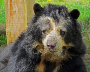 Spectacled Bear at Binghamton Zoo