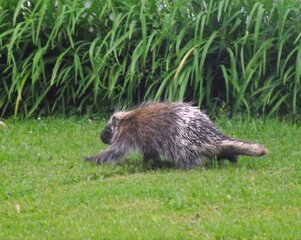 Porcupine out for a stroll