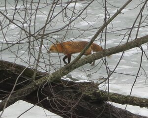 Sly Fox Sneaks Across Frozen River