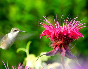 Hummingbird on Beebalm