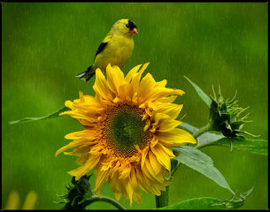 Rainy Day Goldfinch and Sunflower!
