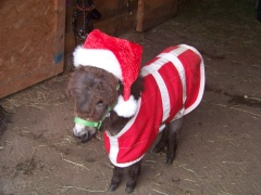Dominic the Christmas mini donkey