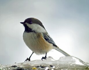 The Ever Faithful Black Capped Chickadee
