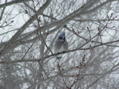A Blue Jay Stops by to say Hello