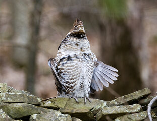 Ruffed Grouse drumming.