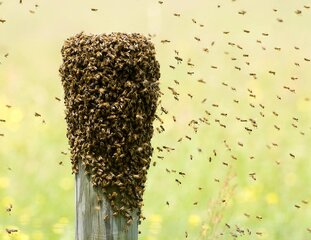 Honey bee swarm.