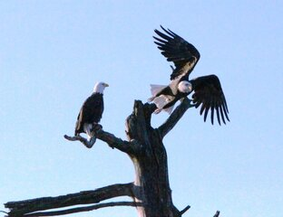 Majestic Eagles In Delaware County 