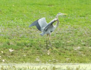 Blue Heron spotted at Ostinango Park