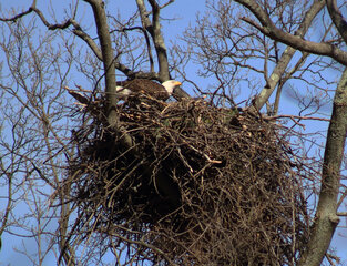 eagles protecting their eggs