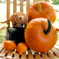 Kitten on Pumpkins