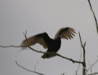 A Turkey Vulture comes for lunch.