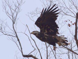 Rare White tailed Eagle
