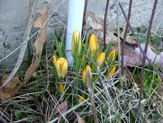 1st Crocuses of the spring?