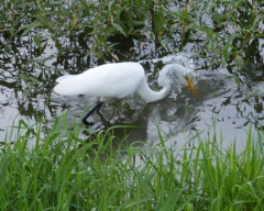 White Egret fishing in the Chenango